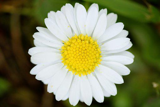Nature, Plant, Flower, Garden, Summer, Daisy, Close Up