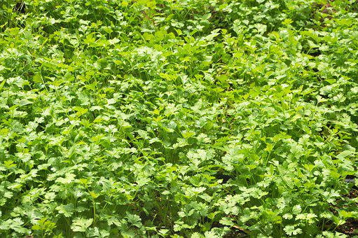 Coriander, Horta, Cultivation, Nature, Plantation, Food