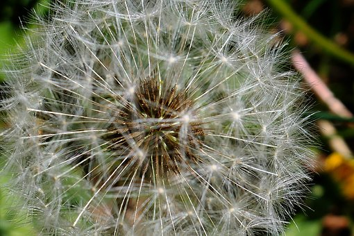 Dandelion, Nature, Summer, Plant, Flower, Bright, Color