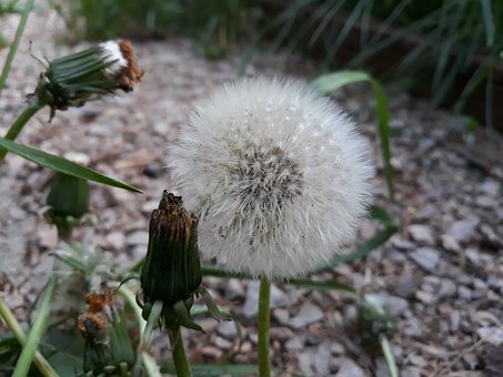 Plant, Nature, Flower, Grass, Seeds, Dandelion, Wishes