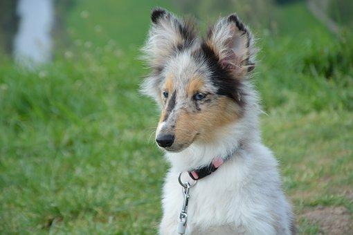 Dog, Bitch Young Dog, Puppy, Shetland Sheepdog
