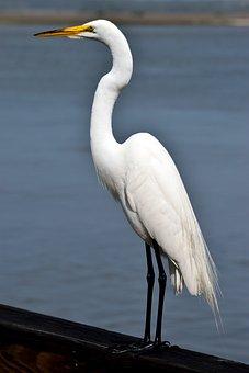 Bird, Heron, Egret, Wildlife, Water, Nature, Animal