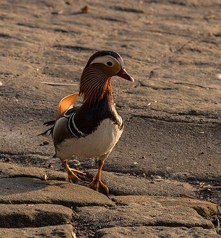 Mandarin Ducks, Evening Light, Sunset, Bird
