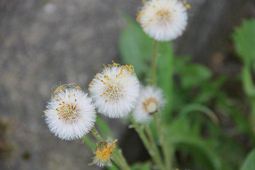 Dandelion, Fade, Faded, Seeds, Close, Common Dandelion