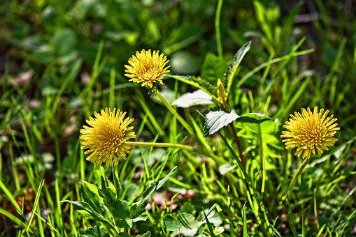 Dandelion, Flower, Plant, Wildflower, Blooming, Grass