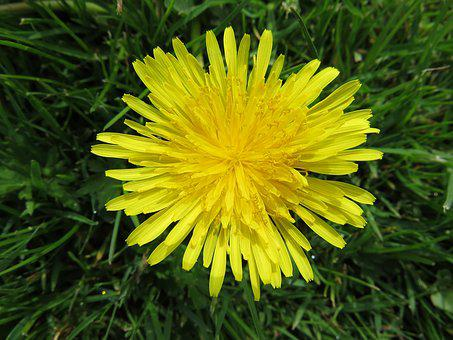 Nature, Flowers, Spring, Yellow, Flower, Dandelion