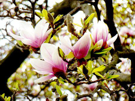 Magnolia, Flower, Nature, Flora, Tree