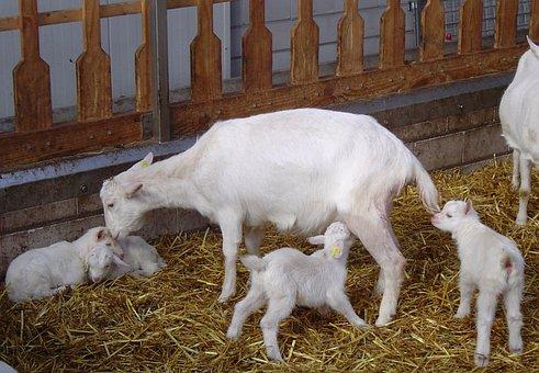 Goats, Lambs, Drinking, Goat Farm, Cattle, Mammals