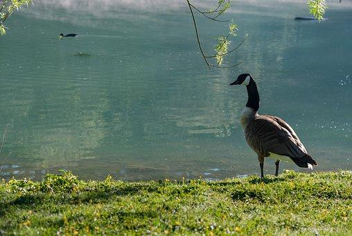 Nature, Bird, Body Of Water, Lawn, Outdoor, Goose