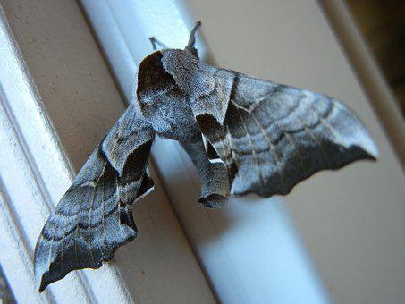 Outdoors, Wing, Moth, Closeup, Wildlife, Insect