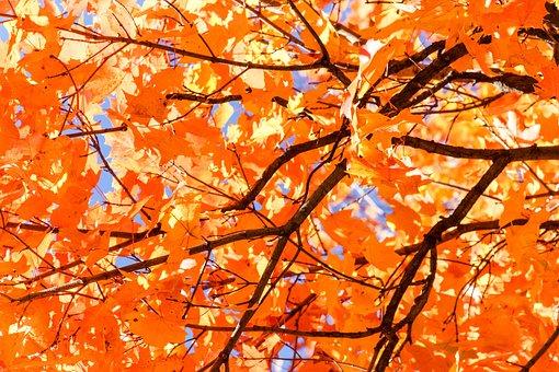 Fall, Leaf, Maple, Season, Tree