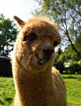 Mammal, Alpaca, Animal, Lama, Wool, Cute, Portrait