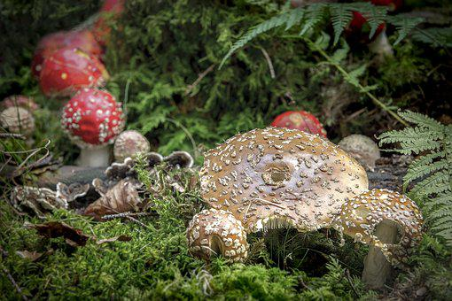 Nature, Mushroom, Panther Mushroom, Fly Agaric, Forest