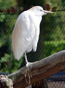 Little Egret, Bird, White Heron, Ardeidae, Nature