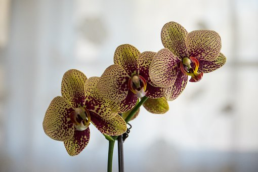 Orchid, Nature, Flower, Tropical, Flora, Beautiful