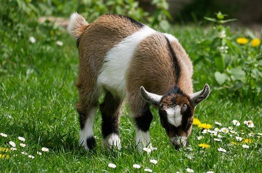Animal, Pet, Goat, Young Goat, Farm, Kid, Playful