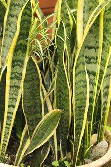 Sansevieriya, Sansevieria, Sheet, Plant, Nature, No One