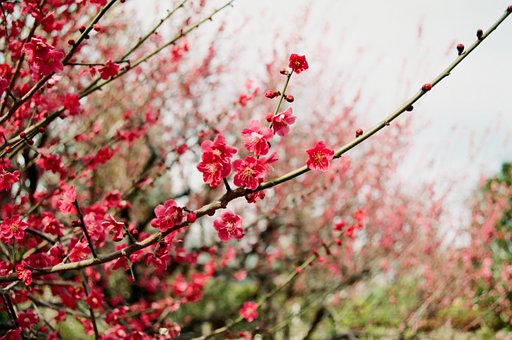 Branch, Wood, Natural, Seasonal, Plum, Flowers, Spring