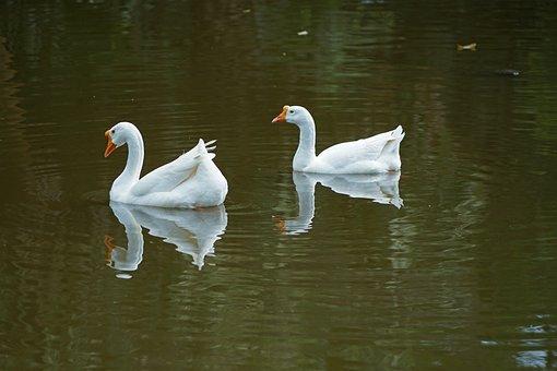 Pool, Lake, Water, Bird, Reflection, Nature, Swan