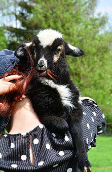 Sheep, Black Sheep, Schäfchen, Eat, Portrait, Animals