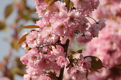 Ornamental Cherry, Prunus, Spring Cherry, Tree