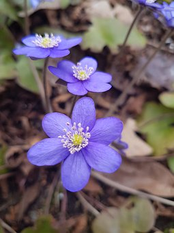 Nature, Plant, Flower, Season, Outdoor, Blue Anemone