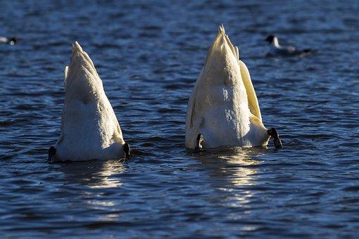 Water, Birds, Swans, Matauk