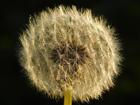Taraxacum, Nature