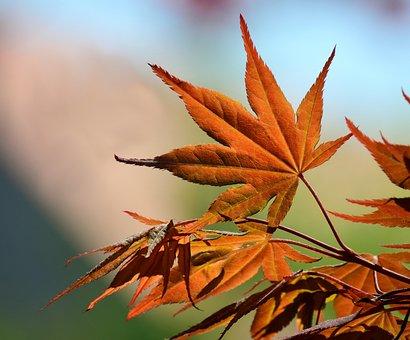 Maple, Spring, Tender, New, Leaf, Autumn, Maple Leaf