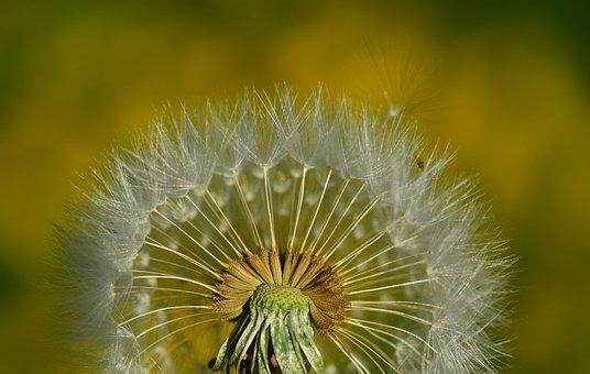 Nature, Dandelion, Summer, Plant, Close, Seeds, Tender