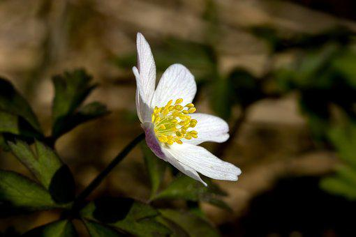Flower, The Nature Of The, Anemones