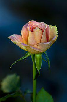 Flower, The Nature Of The, Rose, Garden