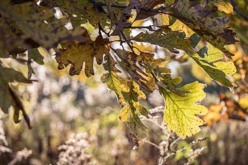 Leaf, Tree, Nature, Flora, Season, Fall, Oak, Leaves