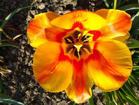 Tulip, Meadow, Yellow, Flowers, Plants, Flower, Natural