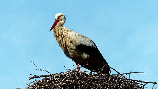 Bird, Nature, Fauna, Animal, Wing, Pen, Beak, Volatile