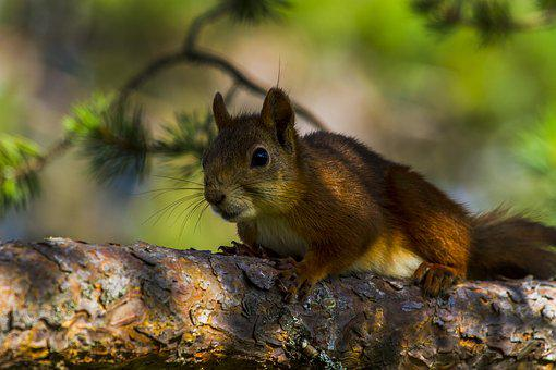Squirrel, Mammals, Rodent, Wild, The Nature Of The
