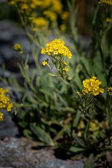 Cushion Flower, Yellow, Yellow Flower