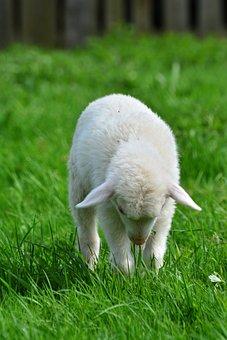 Sheep, Schäfchen, Lamb, Young Animal, Animal Child