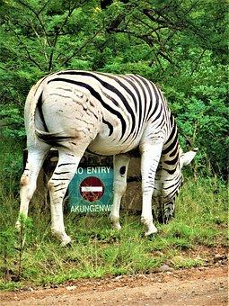 Nature, Animal, Animal World, Mammal, Wild, Zebra