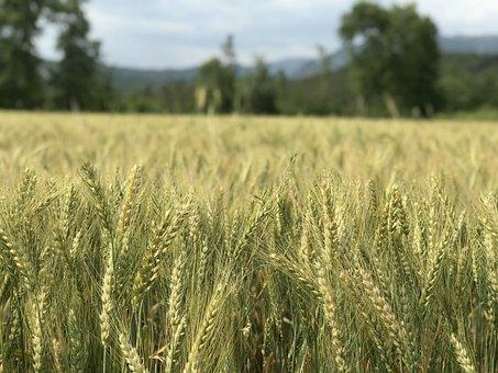 Wheat, Grain, Area, Bread, Attachment, Outdoor, Seed