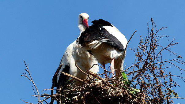 Stork, Nest, Bird, Nature, Fauna, Wing, Park, Pen, Beak