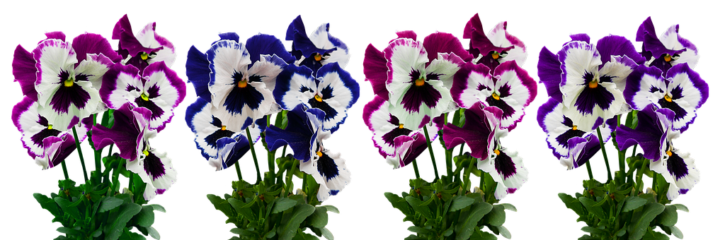 Flowers, Plant, Isolated, Pansy, Blossom, Bloom, Spring