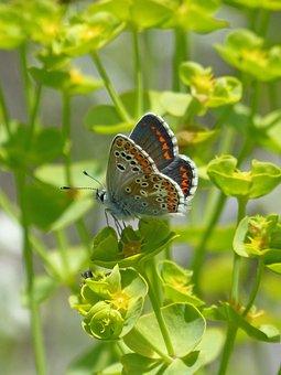 Butterfly, Brunette Southern, Aricia Cramera