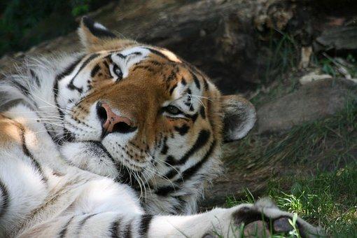 Cat, Fauna, Tiger, Carnivore, Mammal, Animal
