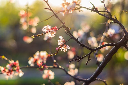 Tree, Spring, Flower, Nature, Cherry, Apricot, Bloom