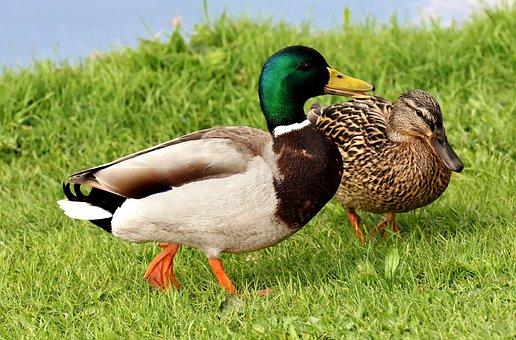 Ducks, Pair, Mallards, Colorful