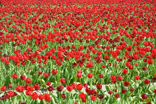 Fields Of Tulips Red, Culture Floral, Tulips, Flowers