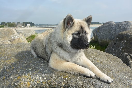 Dog, Bitch Lying, Bitch Nova Elongated, Dog Eurasier