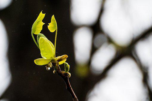 New Life, Spring, Maple, Nature, Flora, Tree, Branch