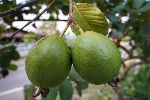 Guava, Fruit, Growth, Food, Leaf, Nature, Tree, Branch